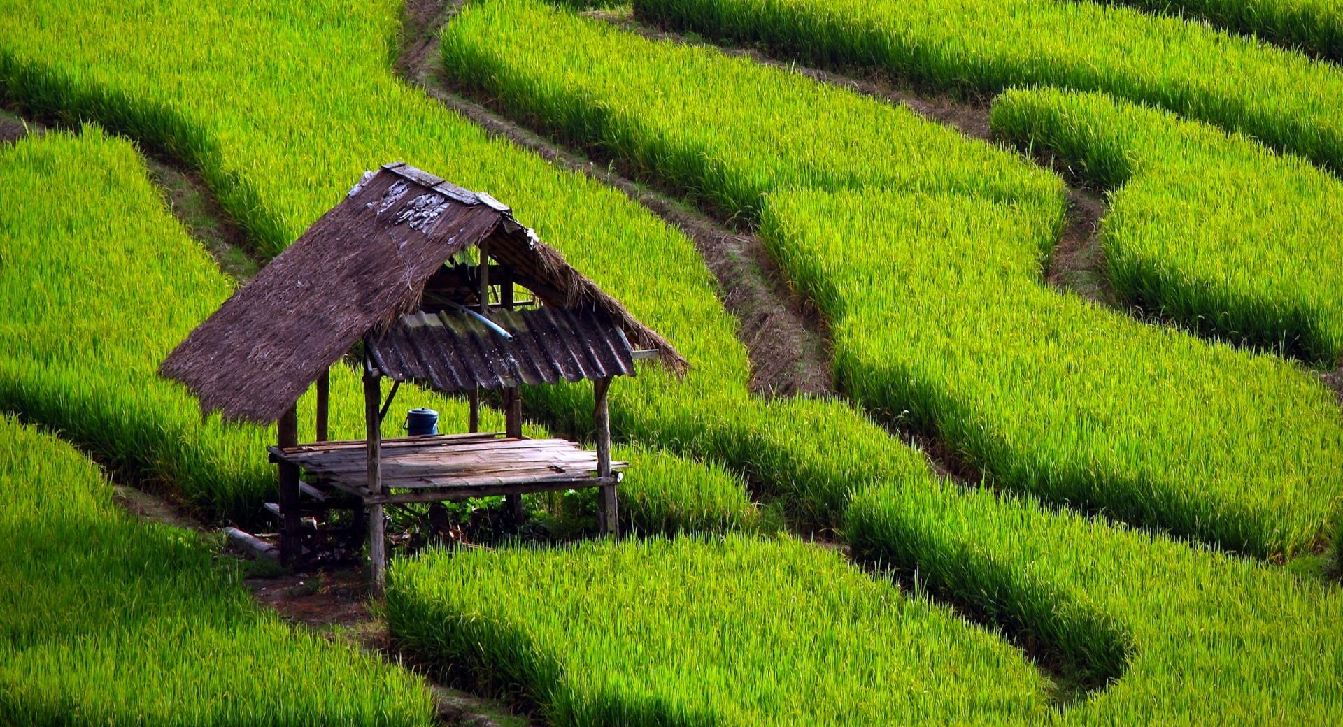 Rice Field Landscape wallpapers HD quality