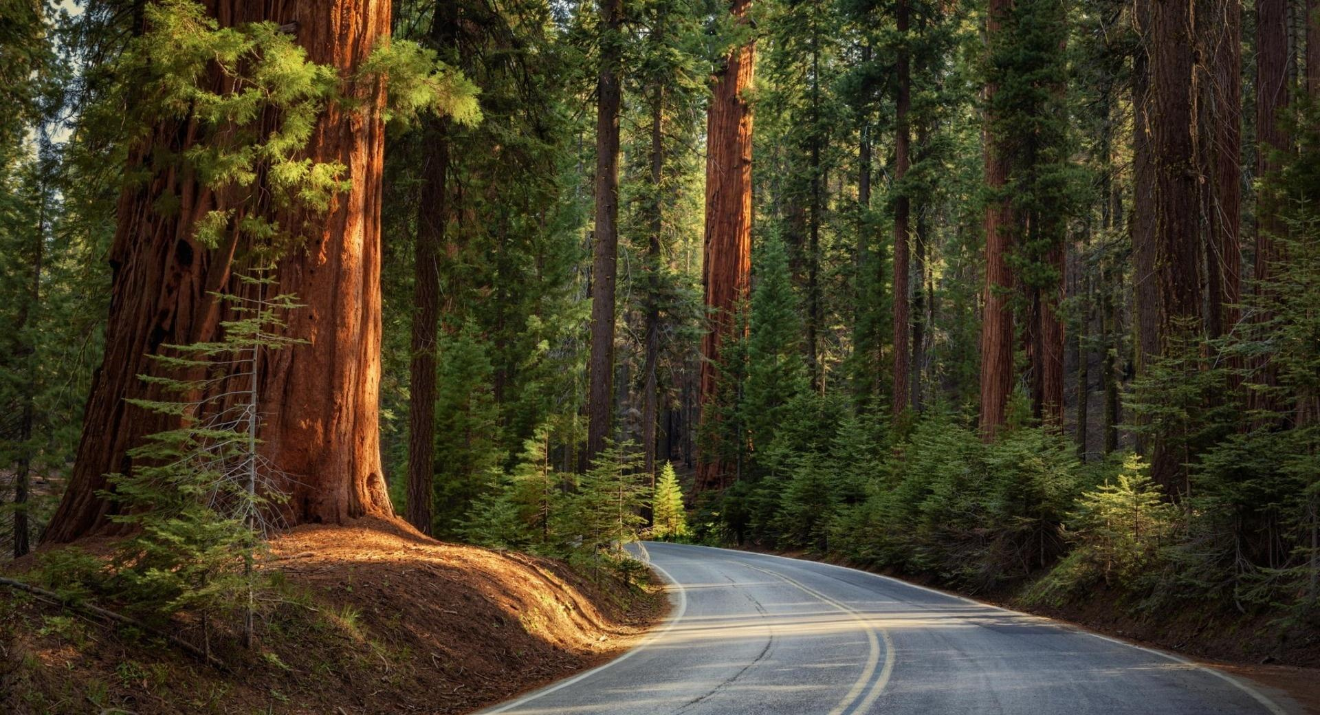 Road In Pine Forest wallpapers HD quality