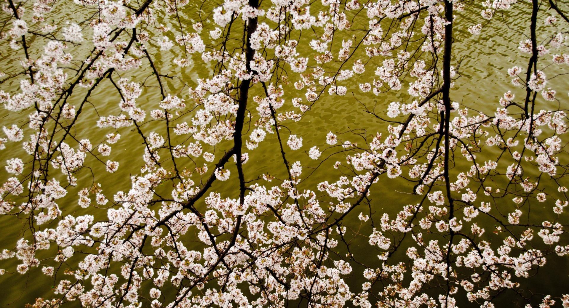 Sakura Branches wallpapers HD quality
