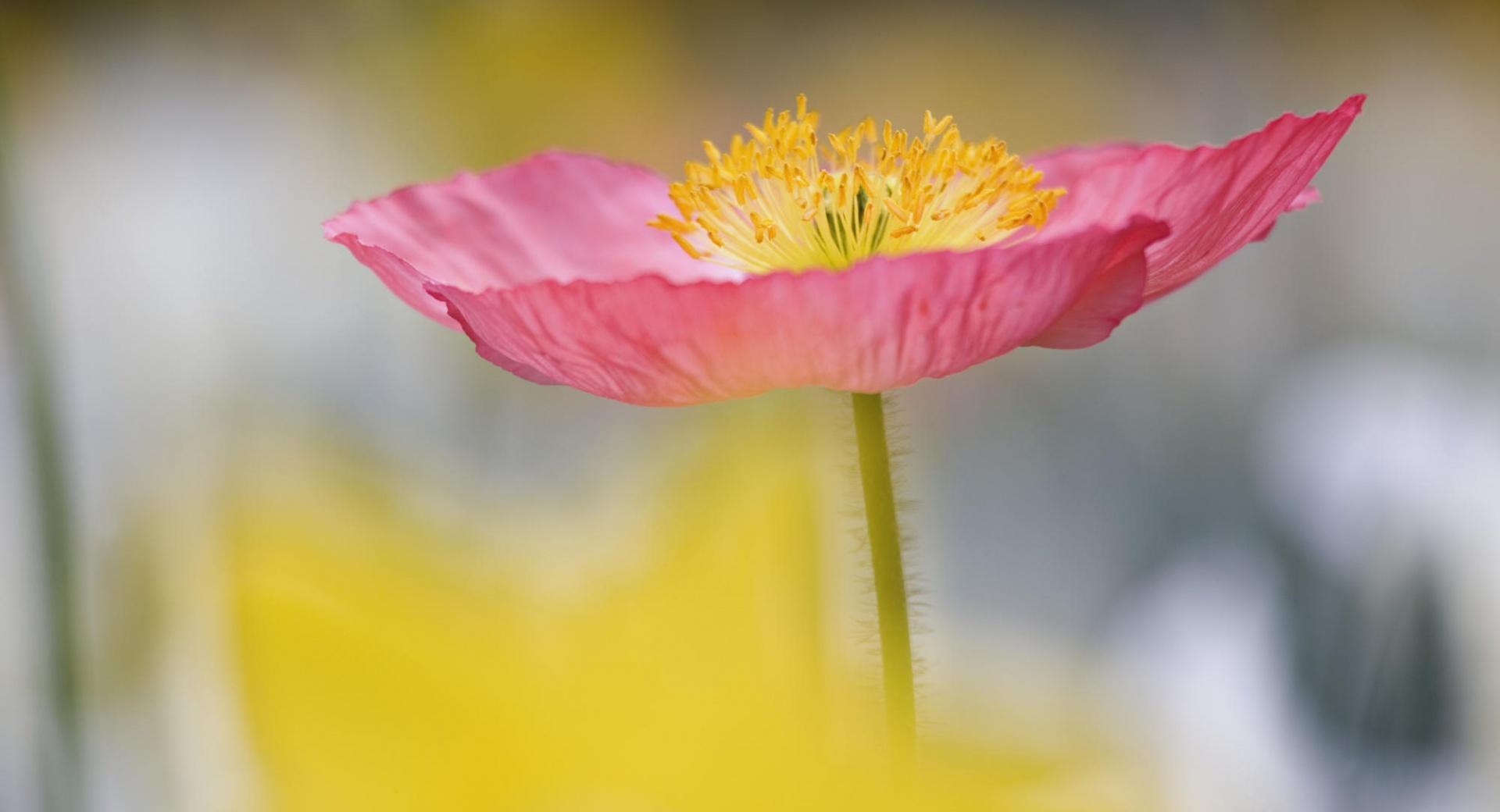 Single Poppy In Garden Charleston South Carolina wallpapers HD quality