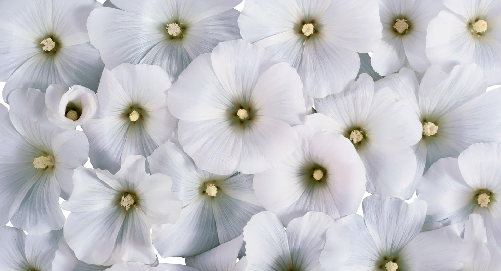 Soft White Flowers wallpapers HD quality