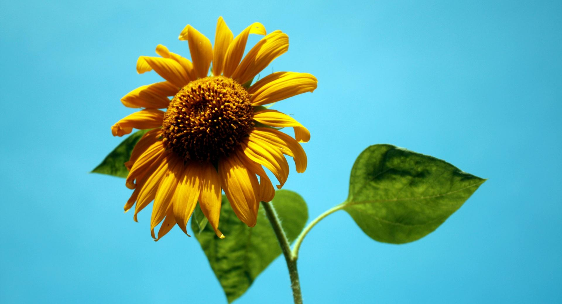 Sunflower Against A Blue Sky wallpapers HD quality