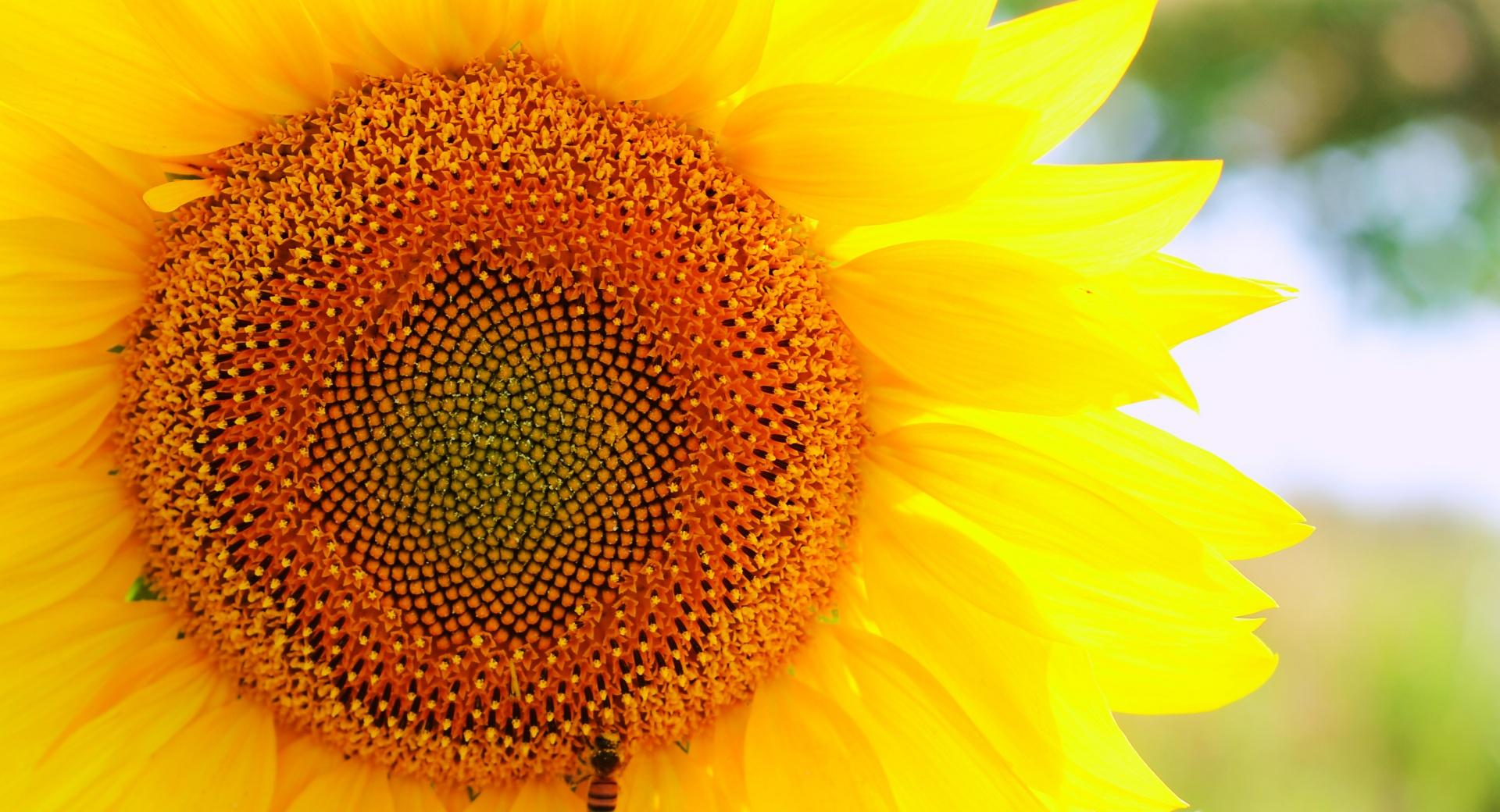 Sunflower and Bee wallpapers HD quality