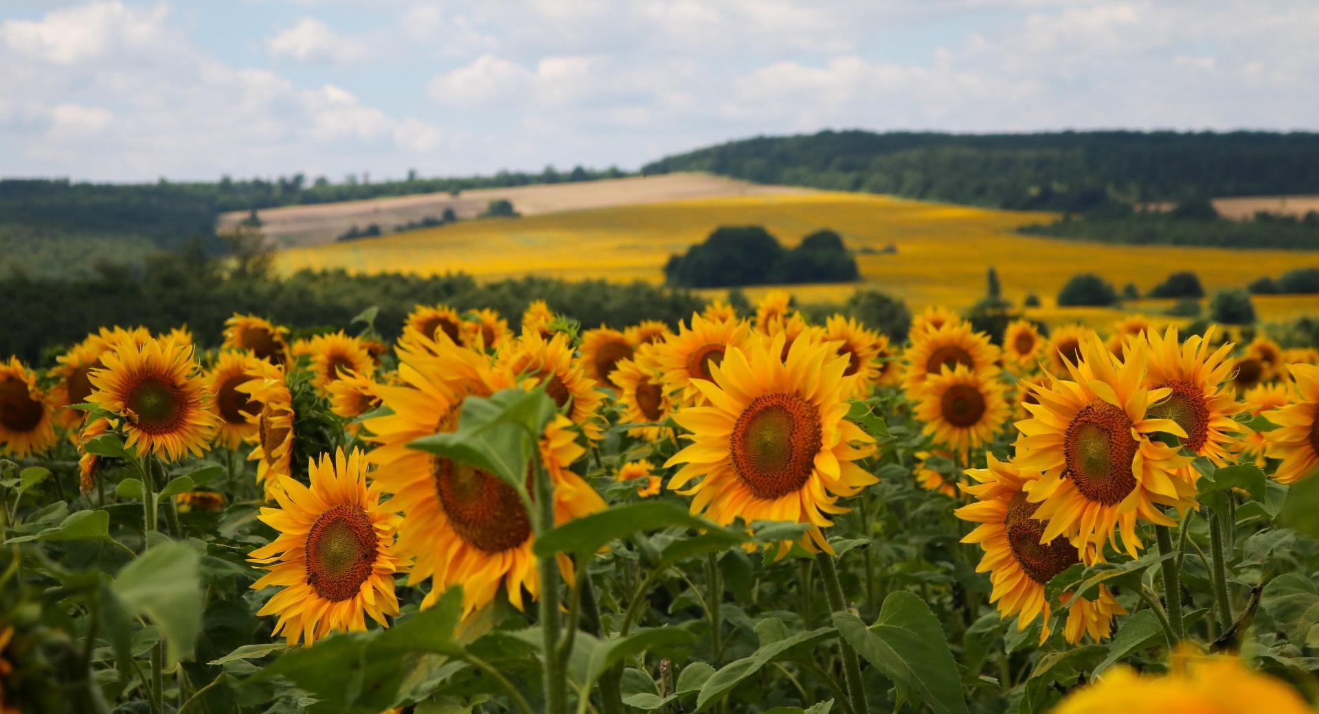 Sunflowers wallpapers HD quality