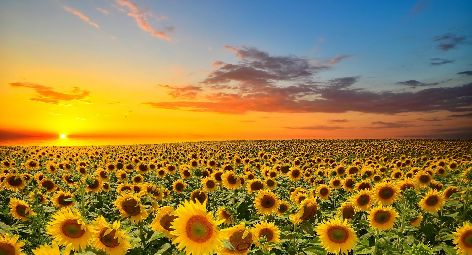 Sunset Over Sunflowers Field wallpapers HD quality