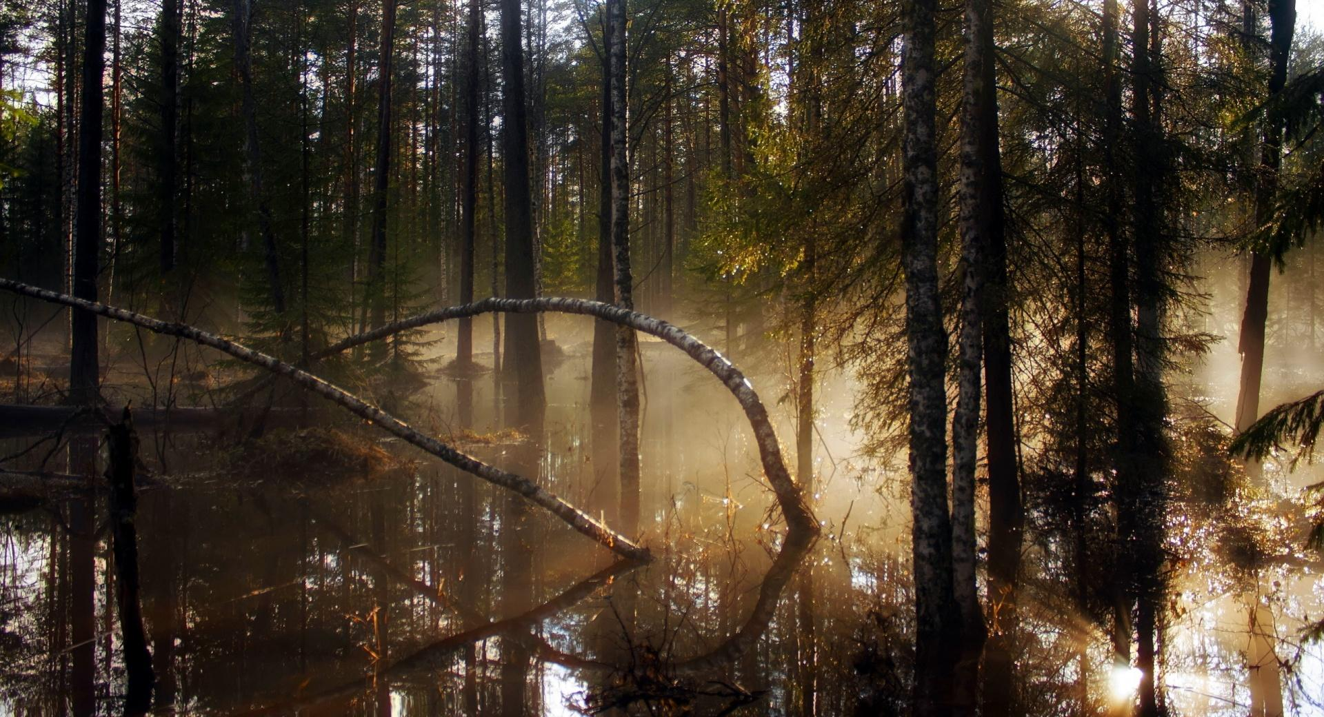 Swamp Forest Morning Mist wallpapers HD quality