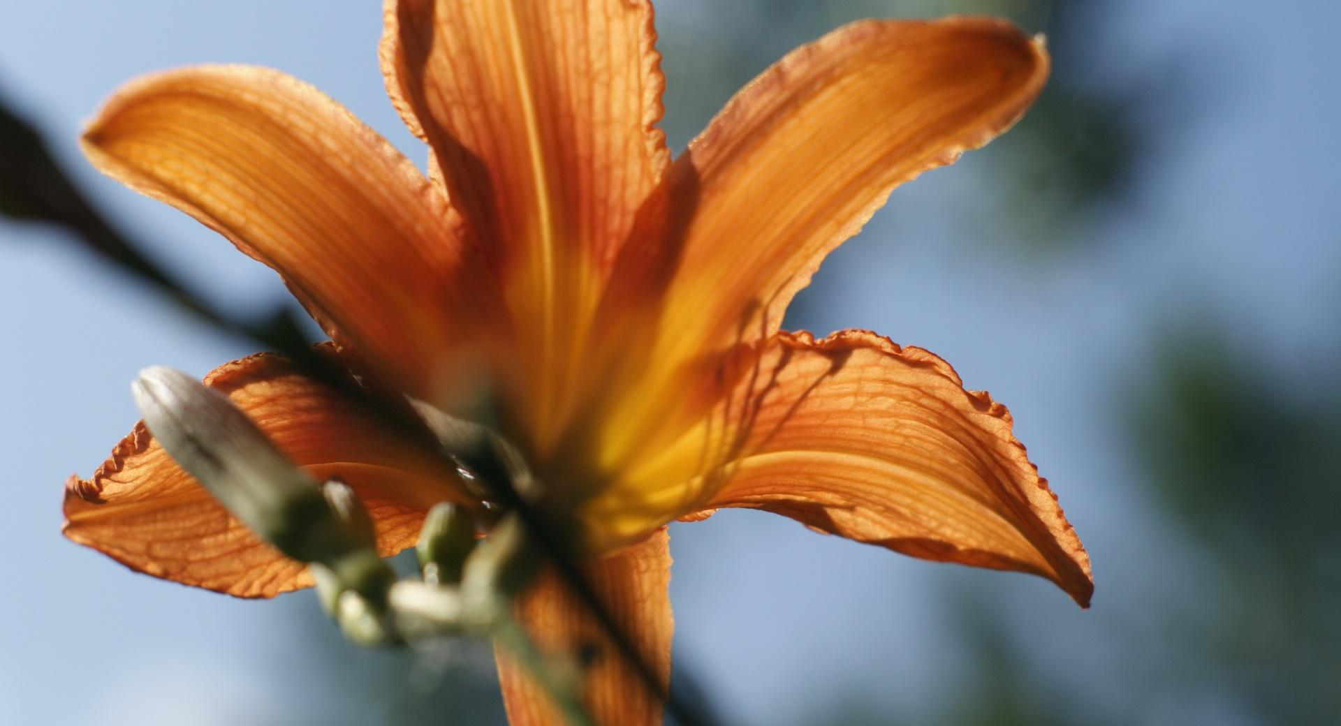 Tiger Lilly wallpapers HD quality