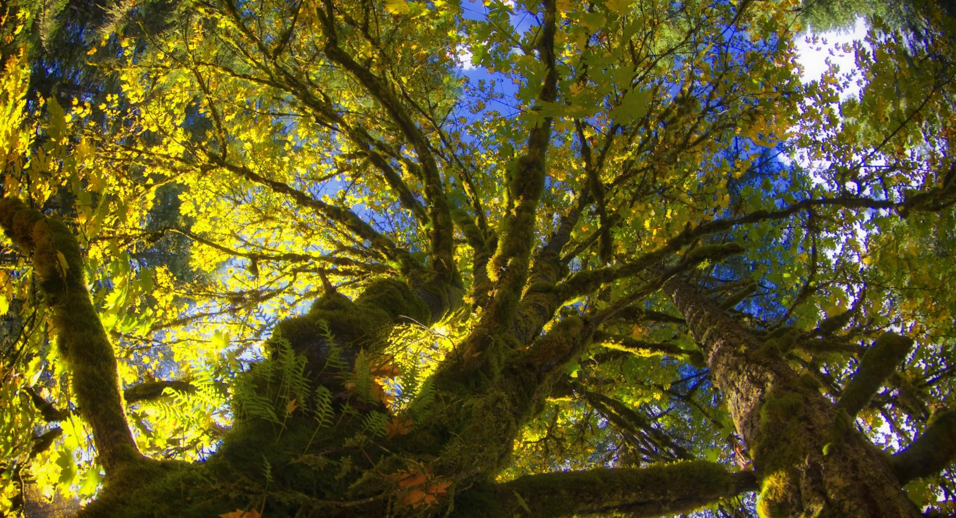 Tree Canopy From Below wallpapers HD quality
