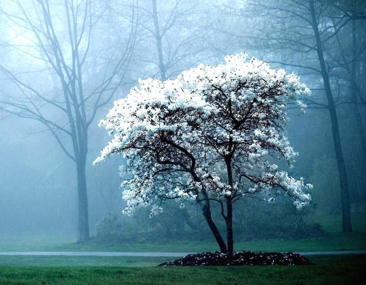 Tree with white flowers wallpapers HD quality
