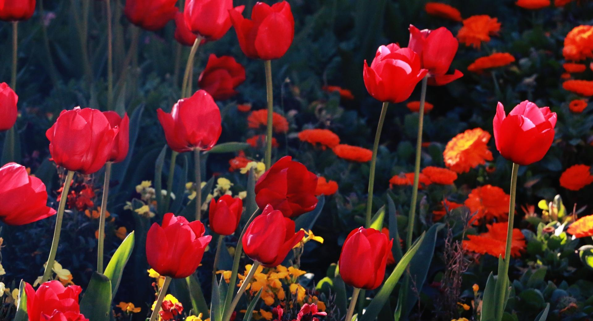 Tulips, Red Tulips wallpapers HD quality