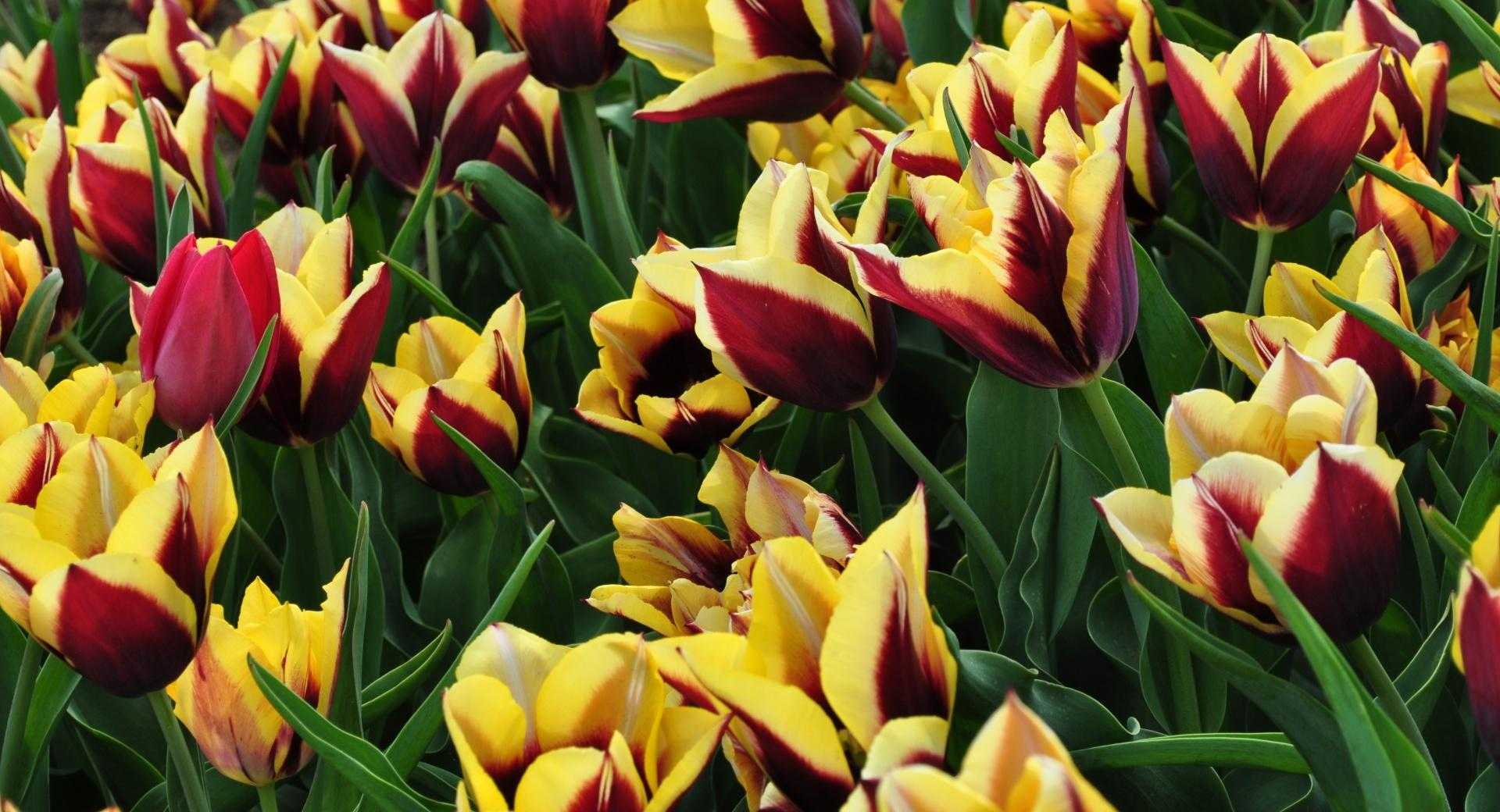 Tulips Plantation wallpapers HD quality