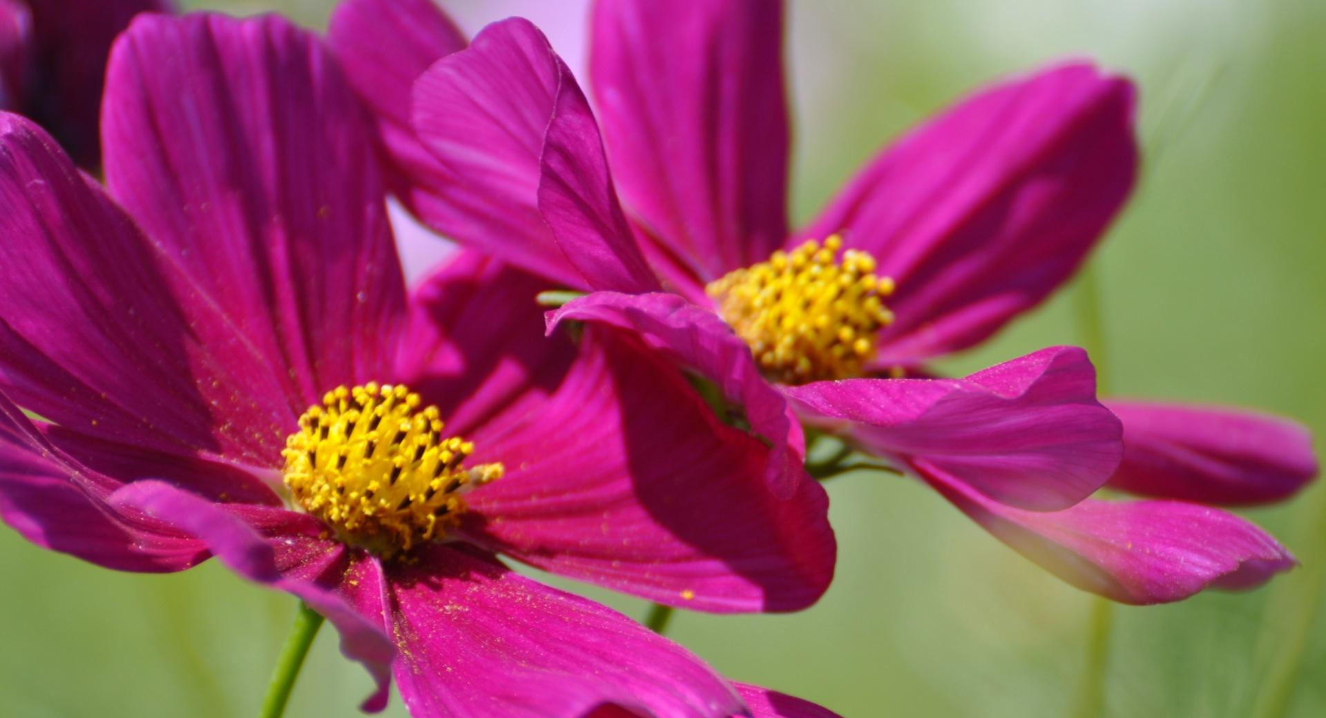 Two Cosmos Flowers wallpapers HD quality