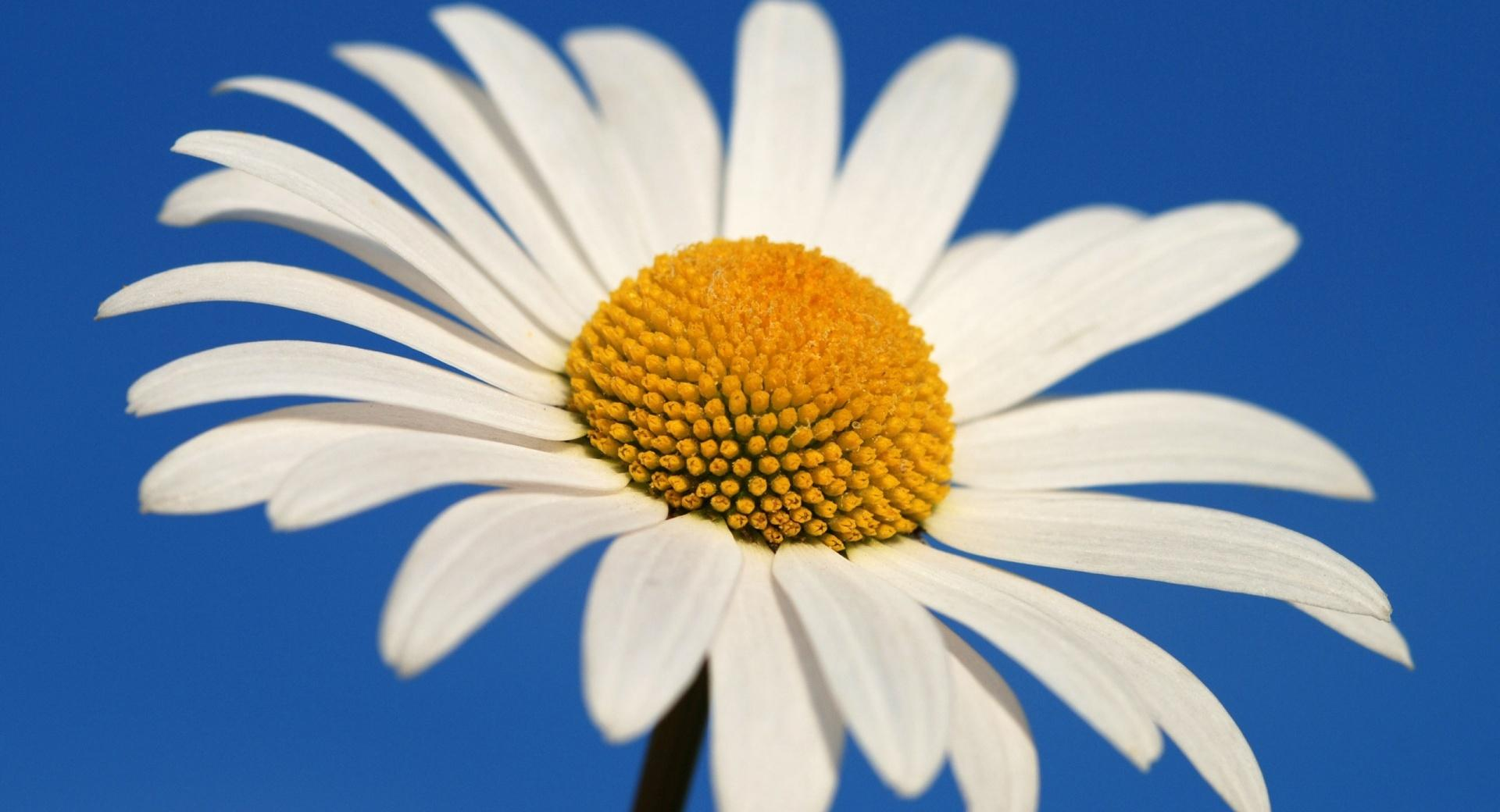 White Daisy Against A Blue Sky wallpapers HD quality