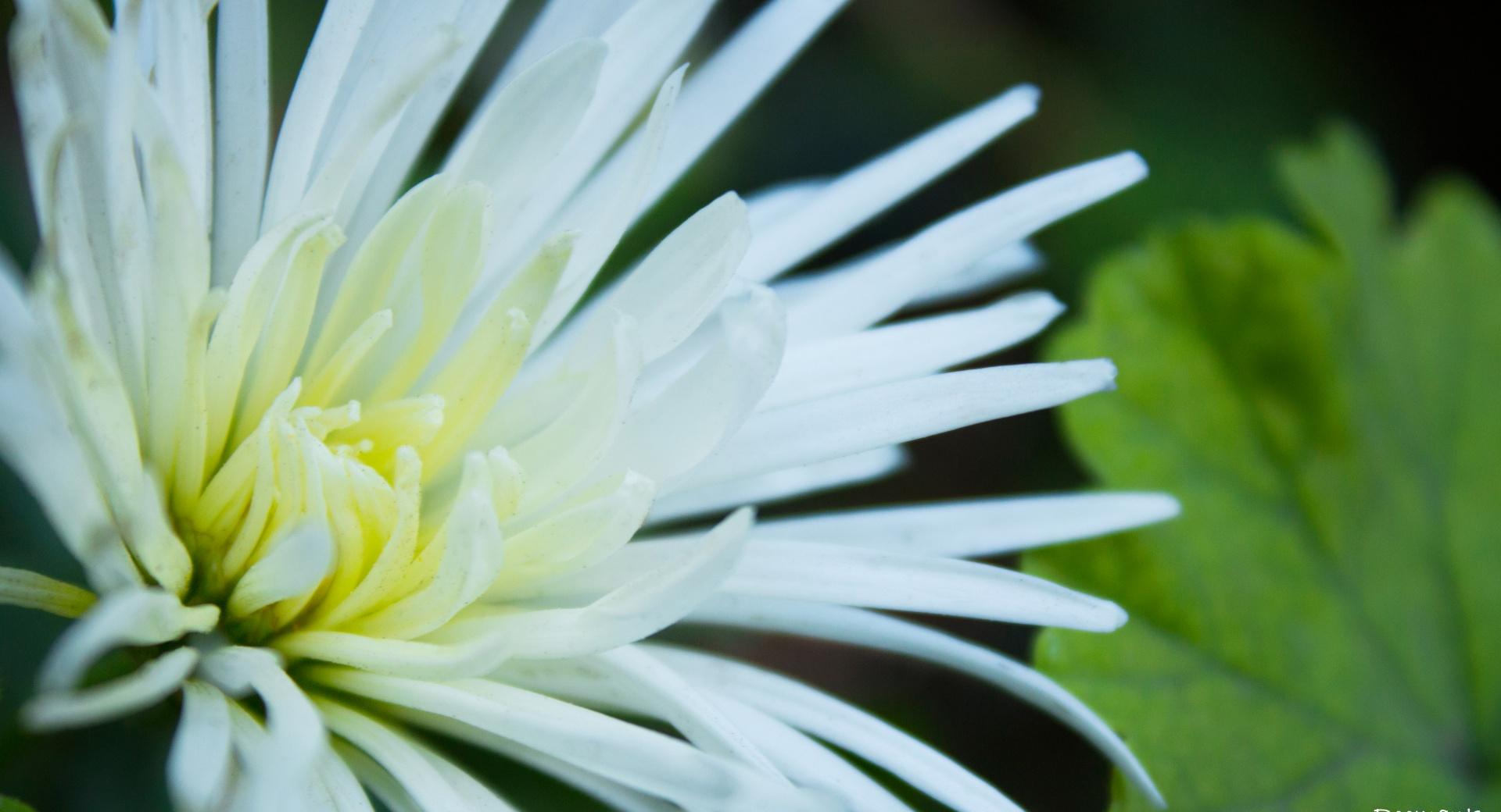 White Flowers with Thin Petals wallpapers HD quality