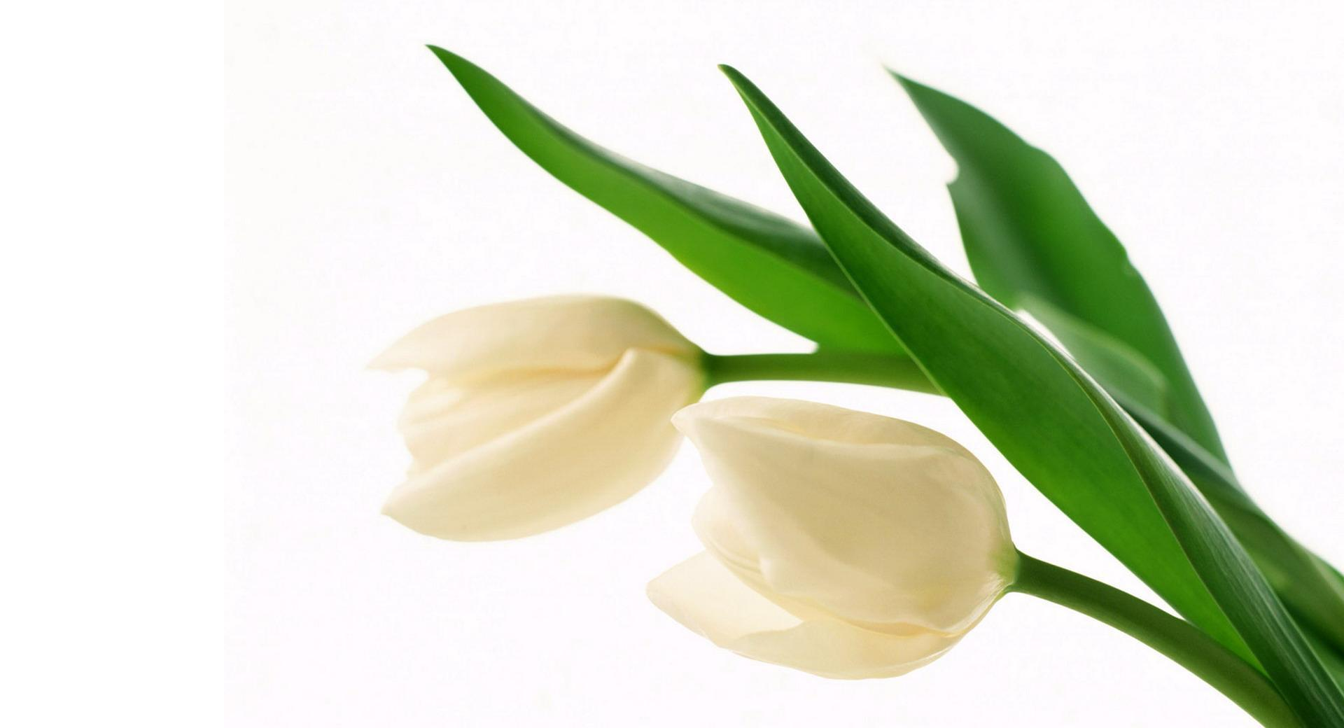 White Tulips wallpapers HD quality