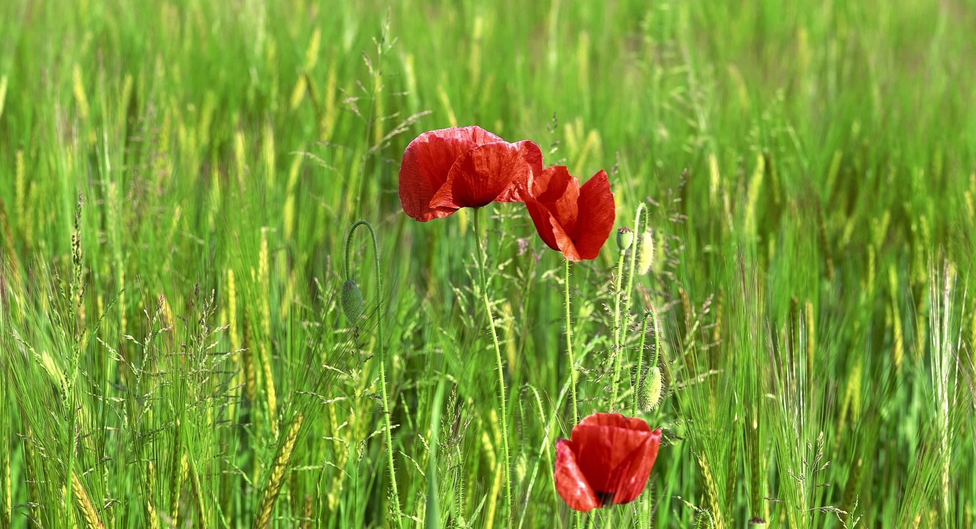 Wild Poppy Flowers In Wheat Field wallpapers HD quality