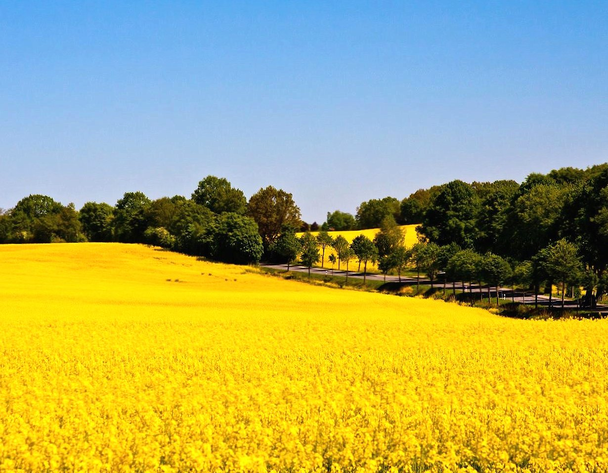Yello field flawers wallpapers HD quality