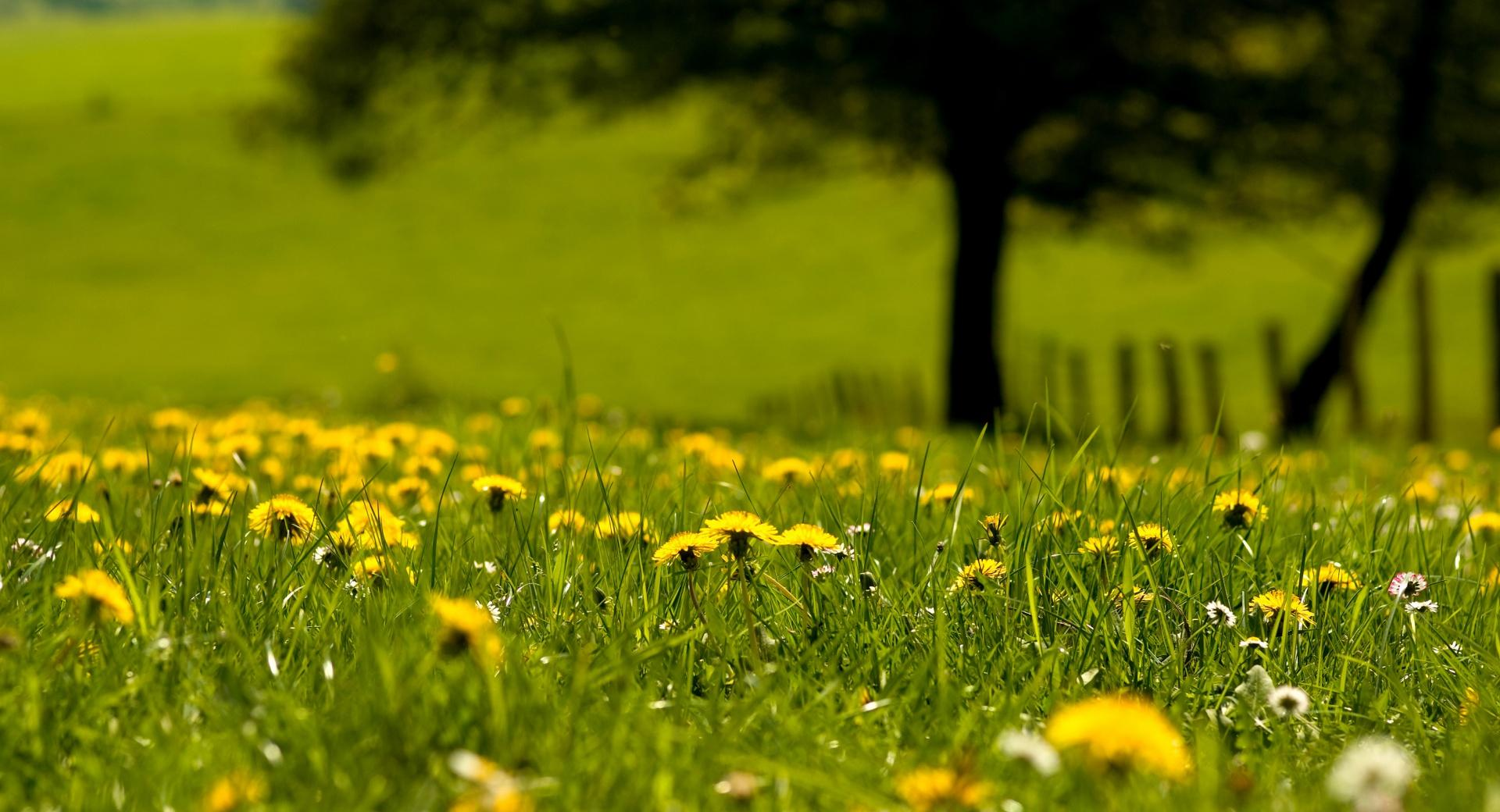 Yellow Dandelions Field wallpapers HD quality
