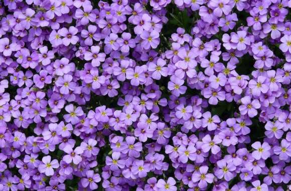 Aubrieta Flowers wallpapers hd quality