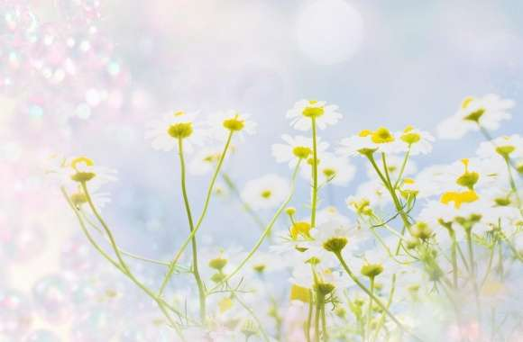 Chamomile Magic wallpapers hd quality