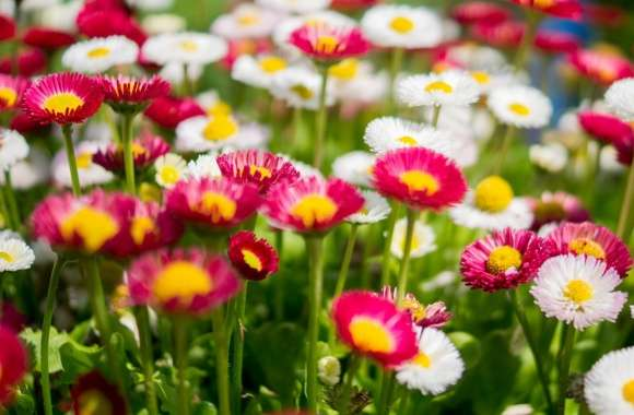 Colorful Daisies Flowers