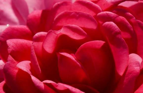 FoMef Flowers Red World 5K wallpapers hd quality