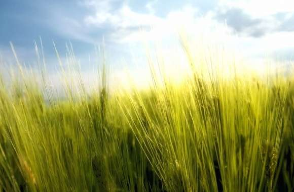 Golden grass wallpapers hd quality