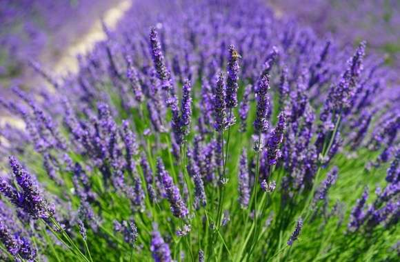Lavender Plants wallpapers hd quality