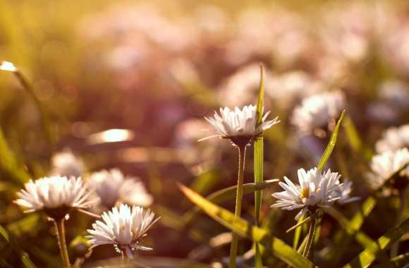 Meadow Flowers Macro wallpapers hd quality