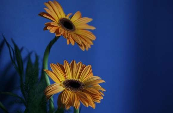 Orange Gerbera Flowers, Blue Background wallpapers hd quality