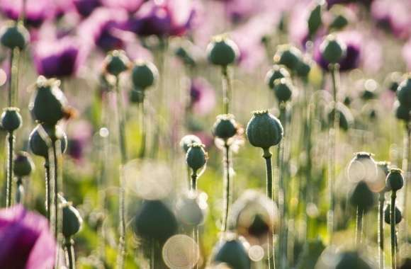 Purple Poppy wallpapers hd quality