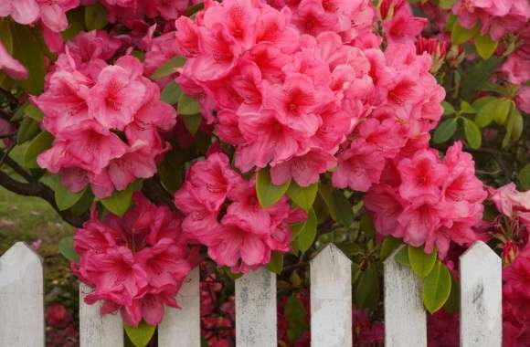 Rhododendron And Fence Reedsport Oregon