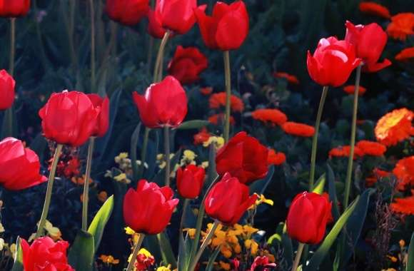 Tulips, Red Tulips