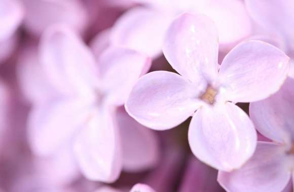Violet Lilac Flowers wallpapers hd quality
