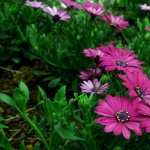 Pink Flowers free wallpapers