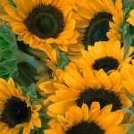 Sunflowers 1080p