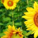 Sunflowers pic